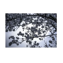Almond-tree-blossom